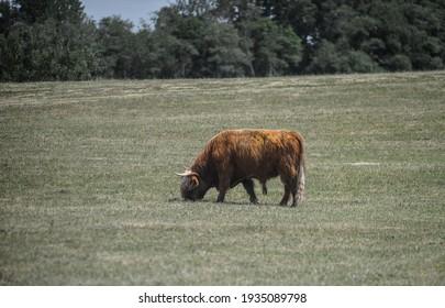 Cow in a green field - Shutterstock ID 1935089798