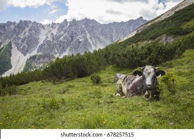 Cow in green field