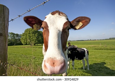 a cow in the green grass