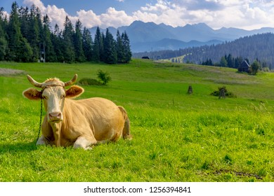cow in green mountain pasture