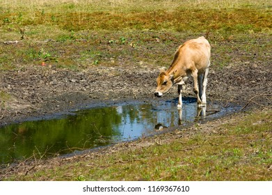 A cow has little water to drink in a pond after a period of drought in the summer in the Netherlands