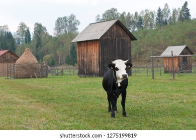 cow, hay and romanian farms