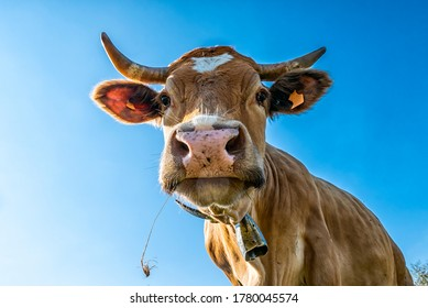 Cow head close-up with sky in background