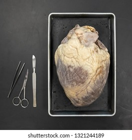 Cow Heart Dissection