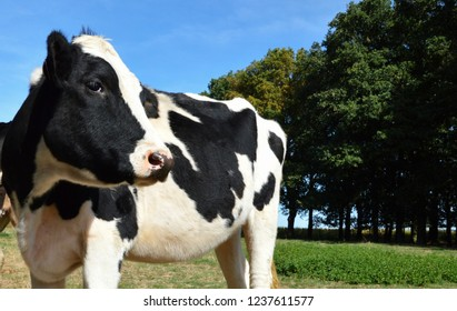 A cow heifer, dairy cow breed