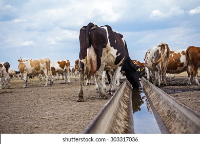Cow, heifers are drinking water from metal trough.