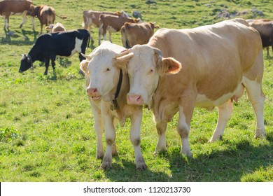 Cow with her calf in herd grazing on fresh green Alpine pasture