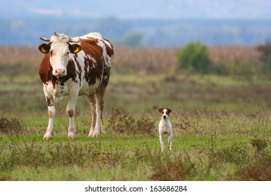 Cow and her guard dog :D Small dog, similar to Jack Russell terrier guarding a cow on pasture.