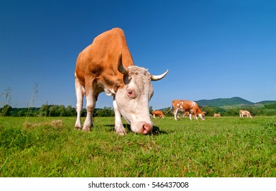 Cow herd in a field. Cow on pasture. Cow agriculture