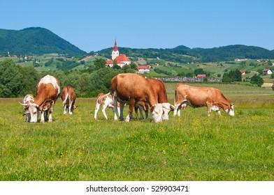 Cow herd grazing in a field - rural scene