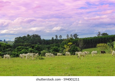 Cow herd grazing in a field at sunset