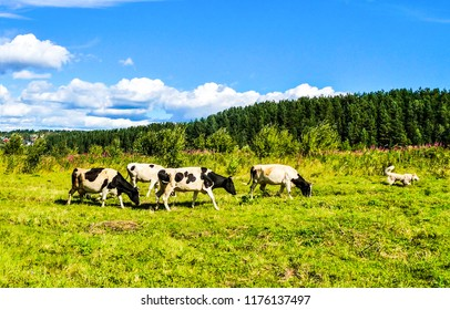 Cow herd grazing on pasture field landscape. Cow herd pasture view. Cows grazing on cow farm pasture