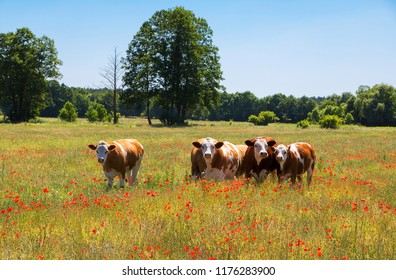 Cow Herd looking at Camera