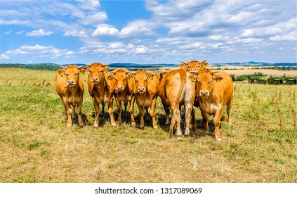 Cow herd on pasture farm. Cows in field. Cows on pasture. Cow herd in line portrait