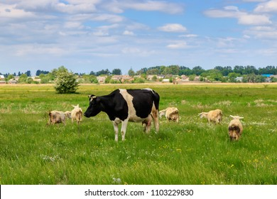 Cow and a herd of sheep in a green meadow on a sunny summer day