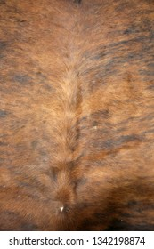 cow hide rug. close up view of a cow hide rug. cow fur rug. leather