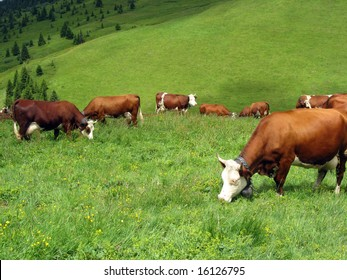 Cow in a high mountain pasture, France