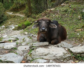 Cow in his natural zone in Nepal