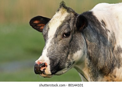 Cow from holland