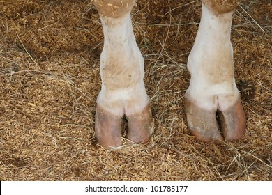 cow hoof feet