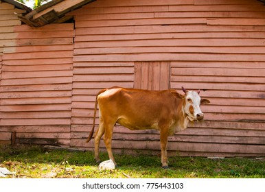 Cow of India