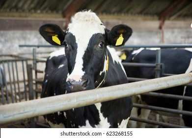 Cow indoor in a barn at a farm stable