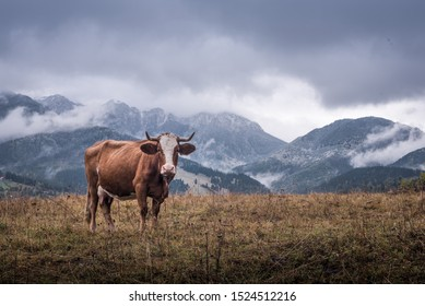 cow isolated in the mountain in the grass autumn time in Transylvania, Romania - Shutterstock ID 1524512216