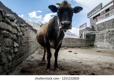Cow in the Kagbeni village yard