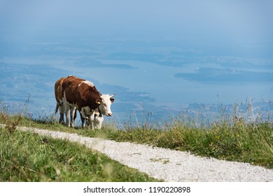 Cow Kampenwand in Bavaria Alps in Summer