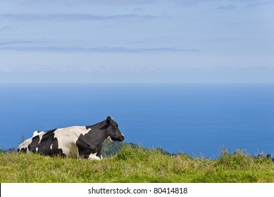 Cow Laying on Field Overlooking The Sea