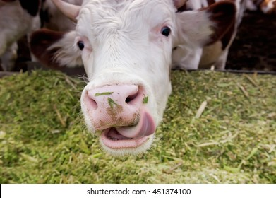 The cow licks lips, after very delicious dinner.