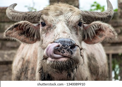 the cow licks the mouth with his nose. The portrait of dirty cow, Thailand