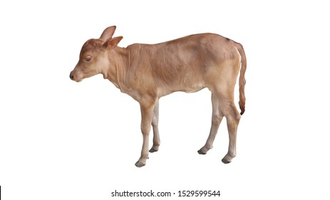 Cow, light brown baby, white background
