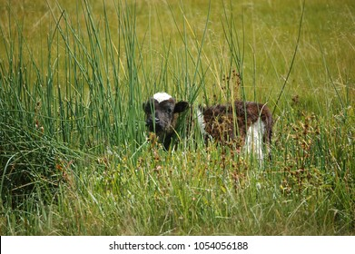 Cow in the long grass in the Yunnan highlands (China)