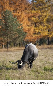 A cow with long horns grazing in a meadow next to a forest in autumn colors