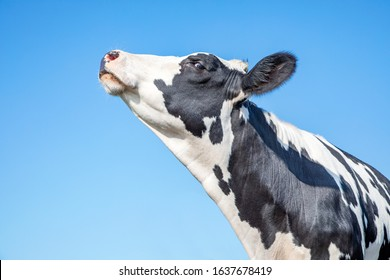 Cow looking arrogant or with her chin raised high, black and white, head in the air and blue background