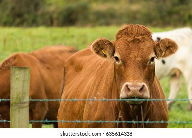 cow looking head-on over barbed wire fence