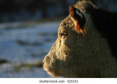 Cow Looking in to the Sunset