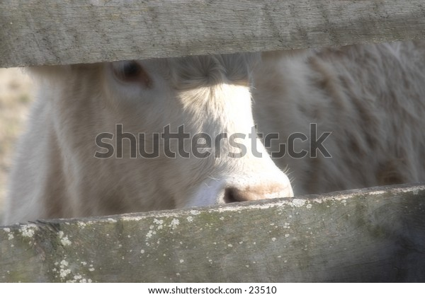 Cow looking through a fence.