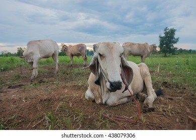 Cow lying in the cornfield on twilight