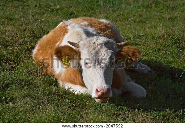 cow lying on the ground an d looking suspiciously