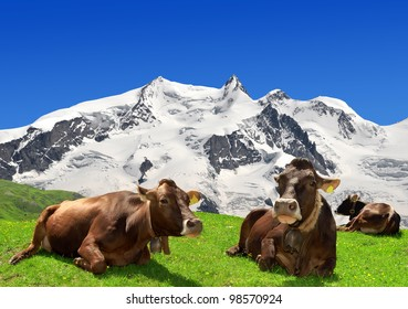 Cow lying on the meadow.In the background of the Monte Rosa -Swiss Alps