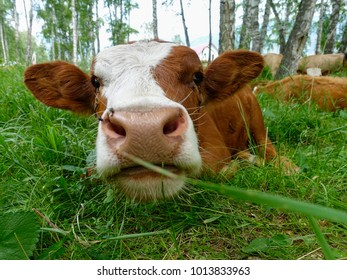 Cow lying on the meadow and eating grass close up