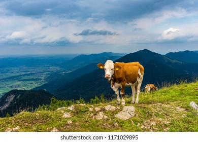 Cow lying on mountain valley pasture in Austrian Alps
