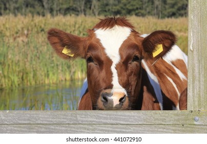 A cow in a meadow