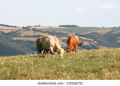 Cow in a meadow, aveyron, france, europe.