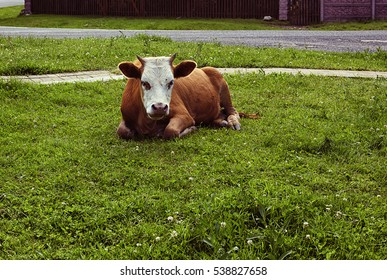 Cow in the meadow, mountain, sunny day