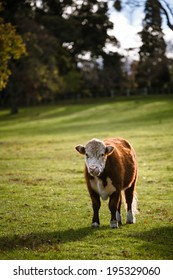 Cow in meadow on a sunny day