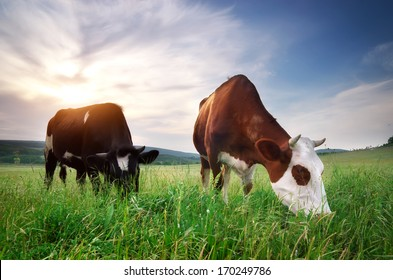 Cow in meadow. Rural composition.
