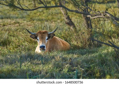 Cow in a meadow sitting looking at camera